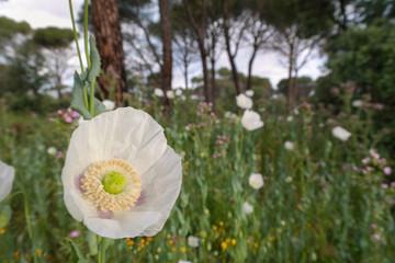 Fototapeta mak biały łąka wiosna bokeh