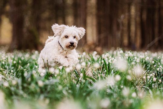 Havaneser-Malteser Mischlingshund sitzt zwischen Schneeglöckchen im Frühling