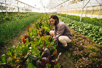 Young adult working in greenhouse picking fresh organic chard form field