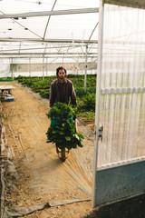 Male farm worker with vegetables in wheelbarrow