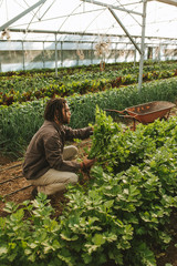 Farmer picking fresh organic celery from field in greenhouse