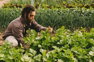Young adult working in greenhouse picking fresh organic celery from field