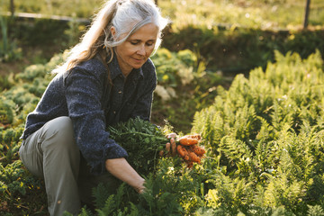 caucasian senior woman picking fresh carrots from the garden