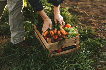 Close-up of woman packing wooden box with freshly picked vegetebles on field