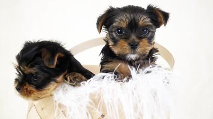 Fototapete - puppies in a wicker basket