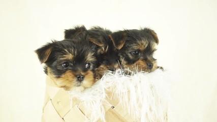 Fototapete - three puppies in a wicker basket