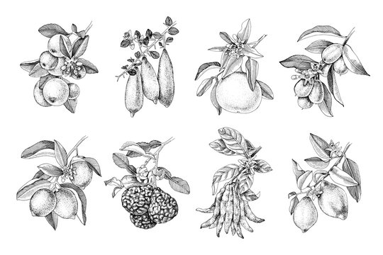 Hand drawn citrus fruits branches