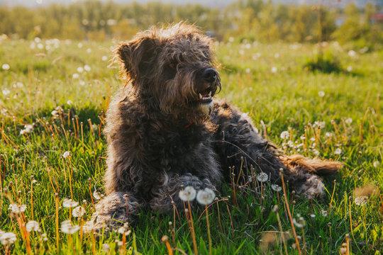 Funny shepherd mix breed dog having fun outdoors.