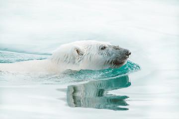 Printed kitchen splashbacks Polar bear Wild polar bear in the Arctic