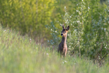 Fototapeta młody jeleń