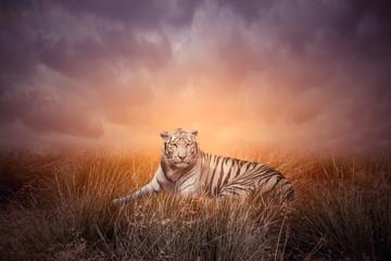 Tiger in grass during sunset. White bengal tiger or Panthera tigris in natural habitat.