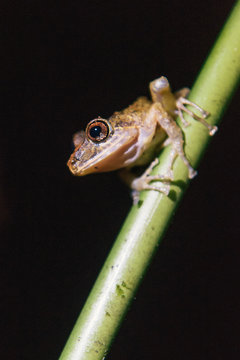 Mindo rain forest tree frog preparing to jump from branch at night