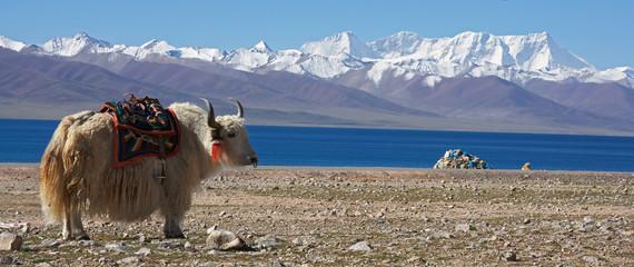 white yak in front of lake Namtso in Tibet Fotobehang