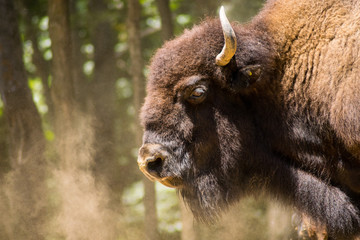 Fototapeta Brown buffalo breathing and surrounding by dust