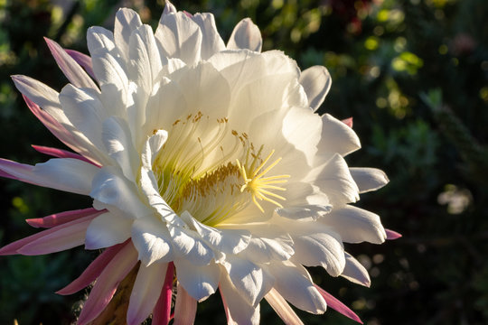 Large white flower from an Argentine Giant Cactus in the sunlight