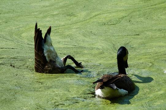 High Angle View Of Canada Geese On Algae Covered Lake