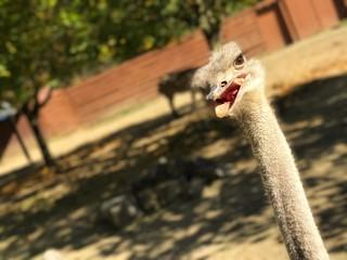 Zelfklevend Fotobehang Struisvogel Close-up Of Ostrich On Field During Sunny Day