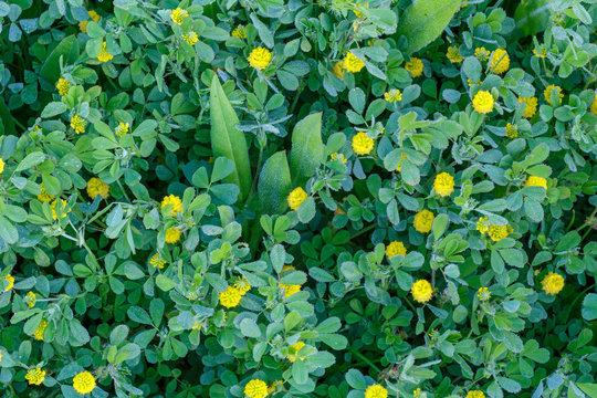 Medicago lupulina. Alfalfa lupulina con flores amarillas y cubiertas de rocío.