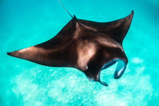 Manta ray swimming gracefully in clear blue water