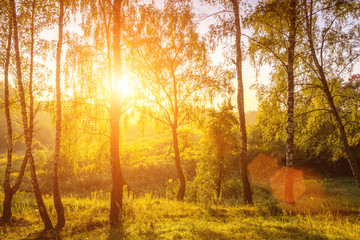 Garden Poster Honey Sunrise in a birch forest on a sunny summer morning with fog.