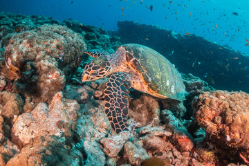 Hawksbill sea turtle swimming among coral reef with tropical fish Wall mural
