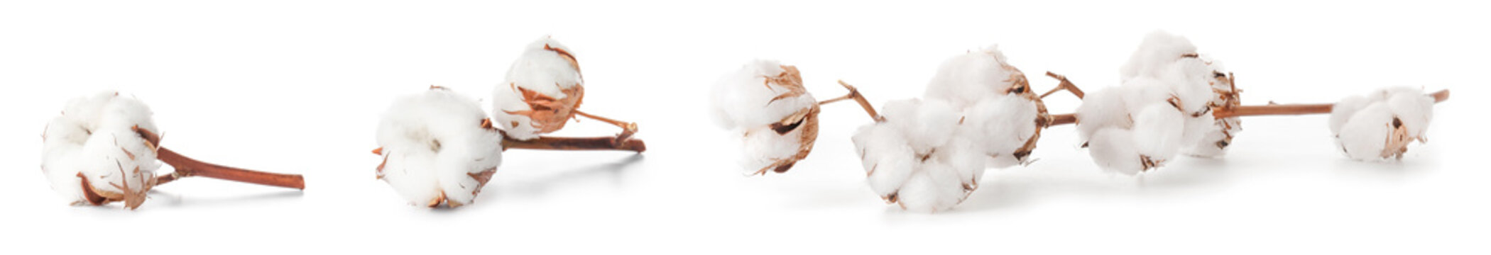 Beautiful cotton flowers on white background