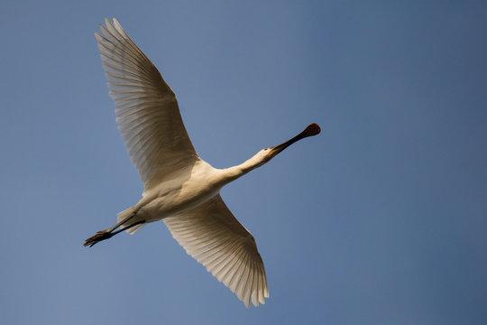 White spoonbill stork fly in blue sky