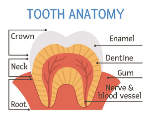 Tooth anatomy poster. Teeth structure scheme with inscriptions. Dental parts illustration. Dentist clinic educational brochure template. Enamel, dentine and gum flat picture. Mouth care infographic.
