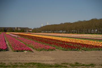 Aluminium Prints Tulip tulip field in holland