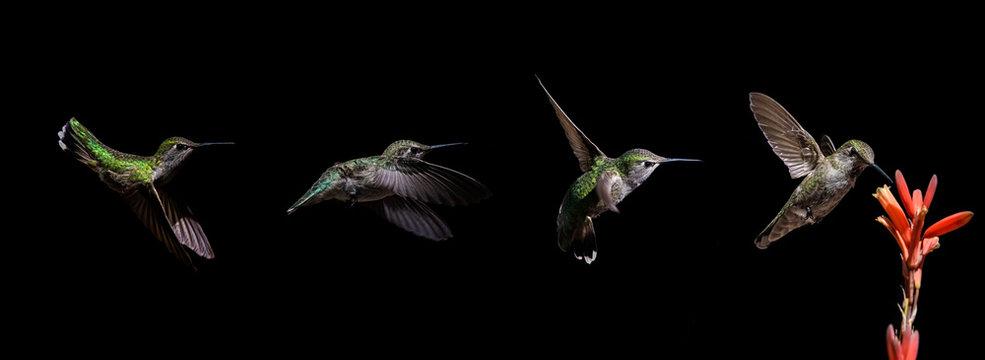 Hummingbird Progression Feeding on Aloe Vera Bloom