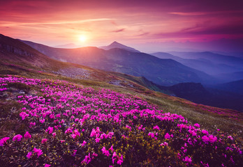 Wall Mural - Charming pink flower rhododendrons at magical sunset. Location place Carpathian mountains, Ukraine, Europe.