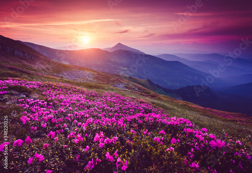 Wall mural Charming pink flower rhododendrons at magical sunset. Location place Carpathian mountains, Ukraine, Europe.