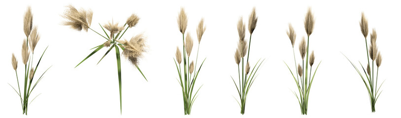 Set or collection of pampas grass isolated on white background. Concept or conceptual 3d illustration for nature, ecology and conservation, beauty and health, spring or summer