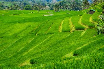 Die Reisterrassen von Jatiluwih auf Bali, Indonesien