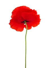 Foto auf Leinwand Mohn One single red poppy flower isolated on white background