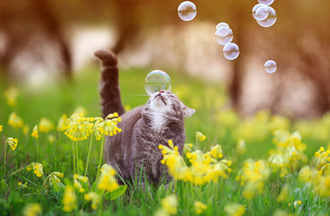 cute tabby kitten walks through a summer Sunny blooming meadow and catches shiny soap bubbles flying by with its nose