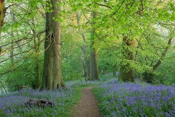 Bluebell woods near Chipping Campden, Cotswolds, Gloucestershire, England