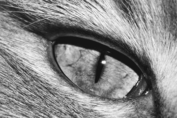 The picture shows the left eye of a proud Maine Coon cat, the largest domestic cat breed in the world.