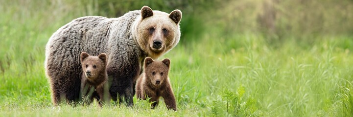 Fototapeta Brown bear, ursus arctos, mother with two cubs on green meadow with copy space. Wide panoramic banner of wild mammal with her lovely offsprings. Animal wildlife in summer nature.