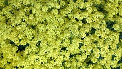 Fototapeta dywan żółtych kwiatów obraz