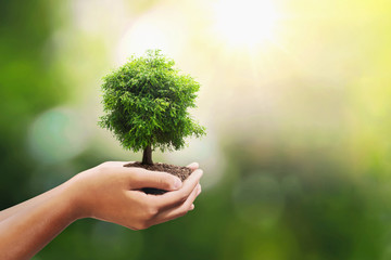 Wall Mural - tree growing on soil in hand holding with sunshine background. eco environment concept