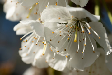 Apple Blossoms, Hood River Valley, Oregon