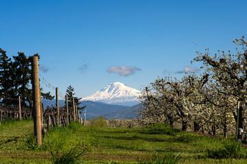 Mt. Adams as Seen from Odell, Oregon Taken in Spring
