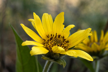 Balsamroot Flower in Early Spring in the Columbia Gorge, Oregon.tif