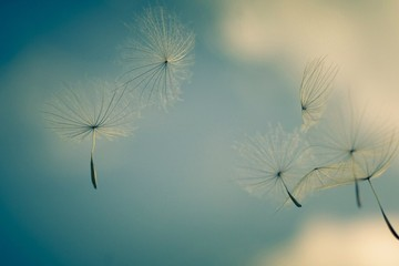 Fototapeta Close-up Of Dandelion Against Sky obraz