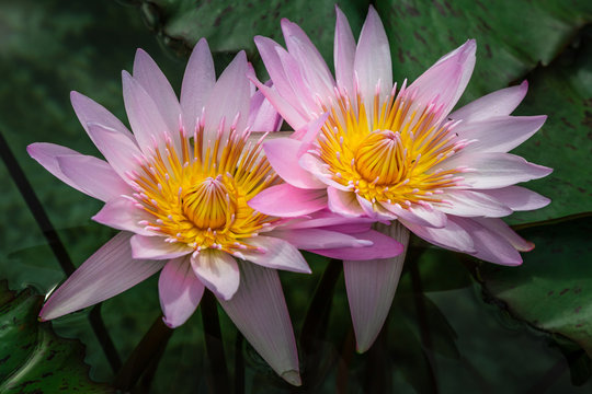 Close up of two Lotus flowers (Nelumbo nucifera), also known as Indian lotus, sacred lotus, bean of India, or Egyptian bean.