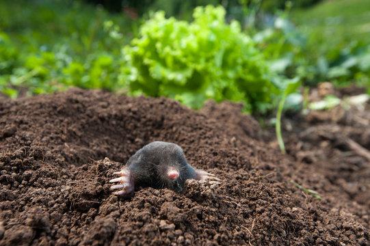 Garden mole peeking out of  the hole in the garden
