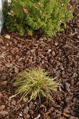 Carex avec paillage d'écorces de pins