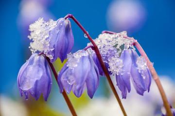 Flower Scilla Siberica