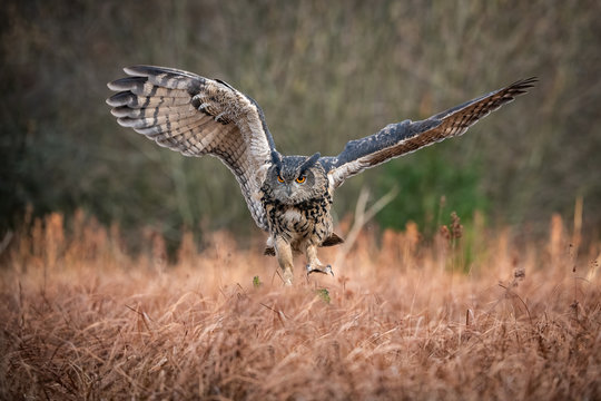 The Eurasian Eagle-Owl, Bubo bubo is flying in the autumn dark forest.